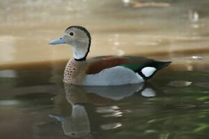 6 Ring Teal Duck Hatching Eggs Pre Auction