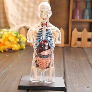 Musculoskeletal Assembled Transparent Human Anatomy Science Model 4d Medical New