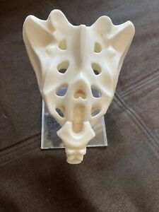 Vtg 3d Anatomical Model Of Human Tailbone Geigy Butazolidin Alka Sales Sample