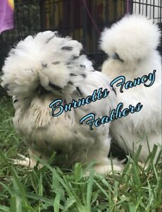 6 Show Quality Silkie Hatching Eggs Crested And Bearded With Muffs Preorder