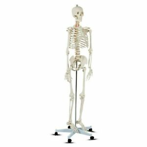 Medical School Human Anatomy Class Life size Skeleton Model Science Lab Study