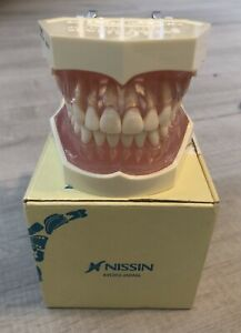Nissin Dental Model Kilgore 28 Teeth Anatomy Model With Open Box