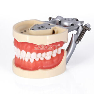 Usa Dental Teeth Typodont Model Kilgore Nissin 200 Type With Removable
