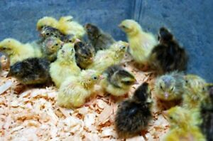 50 Fertile Coturnix Quail Hatching Eggs Assort Colors Sizes