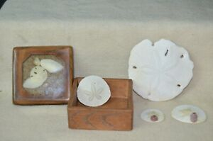 Wooden Box Filled W Beautiful White Etched Seashells Sand Dollars Antique Box