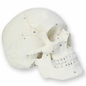 Human Skull Model For Anatomy Teaching Medical Anatomical Adult Male Life Size