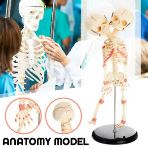 Baby Skull Double Head Human Research Model Skeleton Anatomical Brain Anatomy