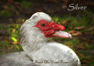 Muscovy Duck 6 Hatching Eggs Rare Colors