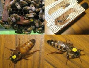 Express Shipped Aug 10 Marked 2020 northern Live Mated Honeybee Queen Bee