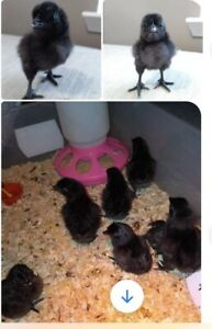 Ayam Cemani 6 Incubating Hatching Eggs Fowl Poultry Farm Homestead Chickens