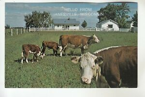 Herefords Grazing Hello From Janesville Wi