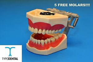 Typodont Dental Model 860 Works With Columbia Brand Teeth 5 Free Molars