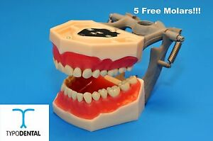 Dental Typodont Model Fg3 Ag3 Works With Frasaco Brand Teeth 5 Free Molars