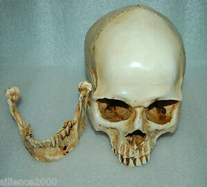 1 1 High Quality Skull Human Anatomical Anatomy Head Medical Model New