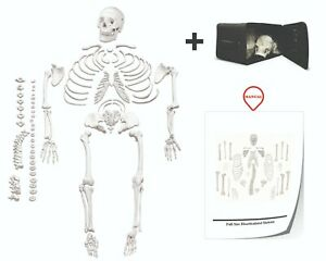 Vision Scientific Vas220 cc0 Life Size Dis articulated Human Skeleton