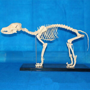 Anatomical Normal Dog Canine Skeleton Model Medical Veterinary Anatomy