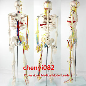 Medical Anatomy Anatomical Human Skeleton Model Nerves Blood Vessels 85cm