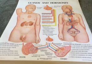 Vintage Glands And Hormones School Pull Down Chart
