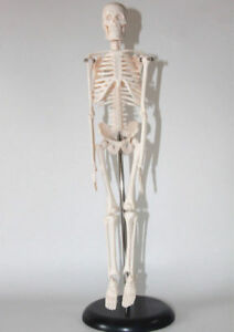 Human 45cm Anatomical Anatomy Skeleton Medical Stand Fexible teaching Model