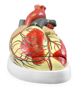 Vision Scientific Vac426 cc3 Jumbo Heart Model With Carrying Case