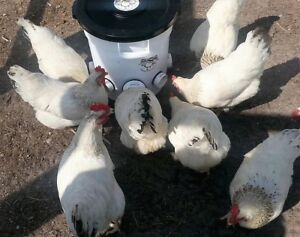 Automatic Chicken Feeder 10 Gallon Poop free For Backyard Chickens