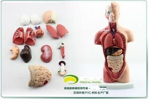 Rs Human 26cm Anatomy Model Transparent Trunk Torso With Visceral 15 Pc Teach