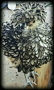Bantam Silver laced Polish 8 Hatching Eggs Npip Certified