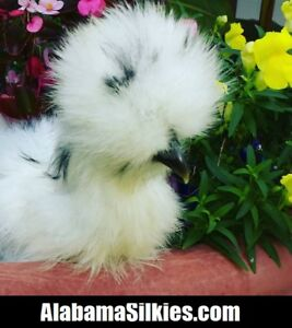 12 silkie Chicken Hatching Eggs Npip show Quality silkie Silkie Silkie
