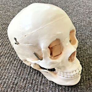 Anatomy Human Skull Model Medical Replica Head Life size White Skeleton 9 High