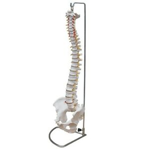Anatomical Human Spine Life Size Flexible Chiropractic Anatomy Model W stand New