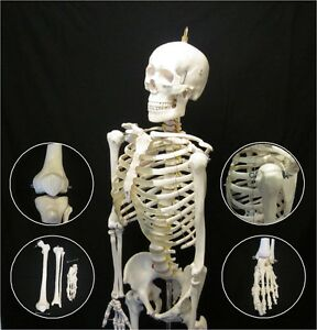 Anatomical Human Skeleton New Advanced Life Size Anatomy Model With Stand