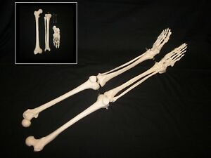 Left Right 1st Quality Life Size Human Skeleton Anatomical Leg Foot Models