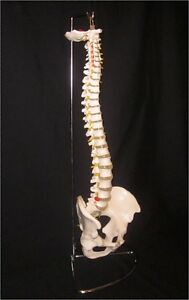 Life Size Human Skeleton Spine Flexible Anatomical Model With Stand New
