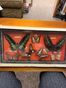 Antique India Butterfly Collection
