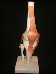 New Knee Joint Life Size Anatomical Functional Human Anatomy Model