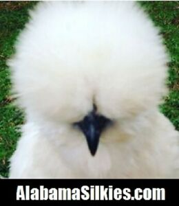 8 Silkie Chicken Hatching Eggs Npip show Quality silkie Silkie Silkie