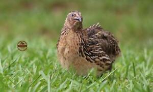 50 James Marie Jumbo Brown Pharoah Coturnix Quail Hatching Eggs Incubation Npip