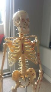 High Quality 85cm Numbered Human Anatomical Painted Muscle Skeleton Model stand