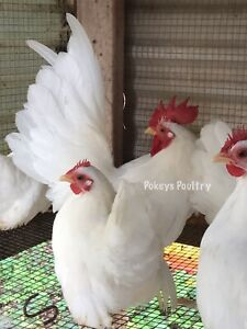 Japanese Bantam Hatching Egg Assortment
