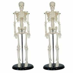 Human Skeleton Anatomical Model Life Size 45cm Medical Poster Bonnet Joints Sale