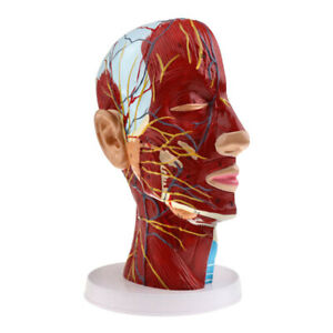 Modern Pvc Anatomical Head Brain Median Model Cervical Spine Learning Tool Worth