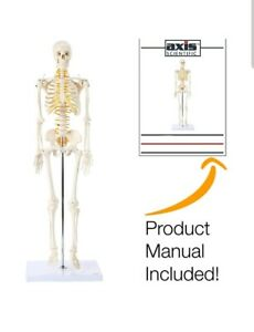 Axis Scientific Mini Human Anatomical Skeleton Model 31 Inches Anatomy W stand