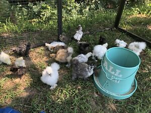 14 Hatching Eggs 7 Polish Chicken Hatching Eggs And 7 Silkie Hatching Eggs