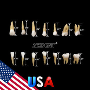 28pcs Dental 1 1 Permanent Teeth Demonstration Study Model Tooth Model 7008 Usa