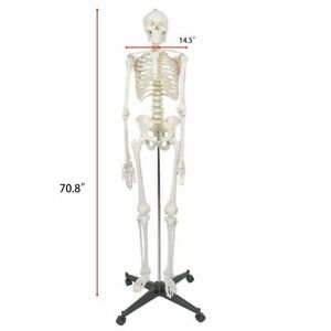 Medical Anatomical Human Skeleton Model With Rolling Stand 180cm 70 8 Washable