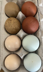 Blue Eggs Only Fertile Hatching Eggs 9 Possible Frizzle Olive Egger
