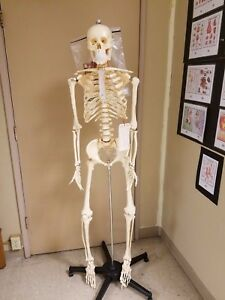 First Quality Budget Bucky Skeleton Anatomy Model With Stand New