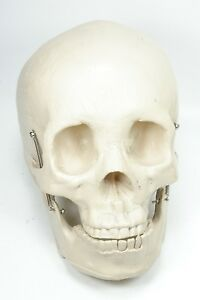 Human Skull Model Medical Skeleton Anatomy Replica Nice