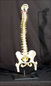3b Scientific Classic Flexible Spine Model With Femur Heads