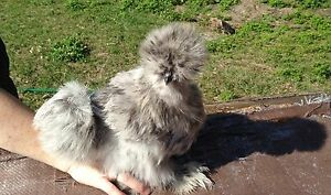 12 Silkie Hatching Eggs From Different Pen Colors Npip